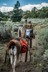 pack llama rentals backcountry archery mule deer hunting utah