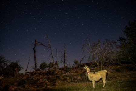backcountry pack llama camping under the stars